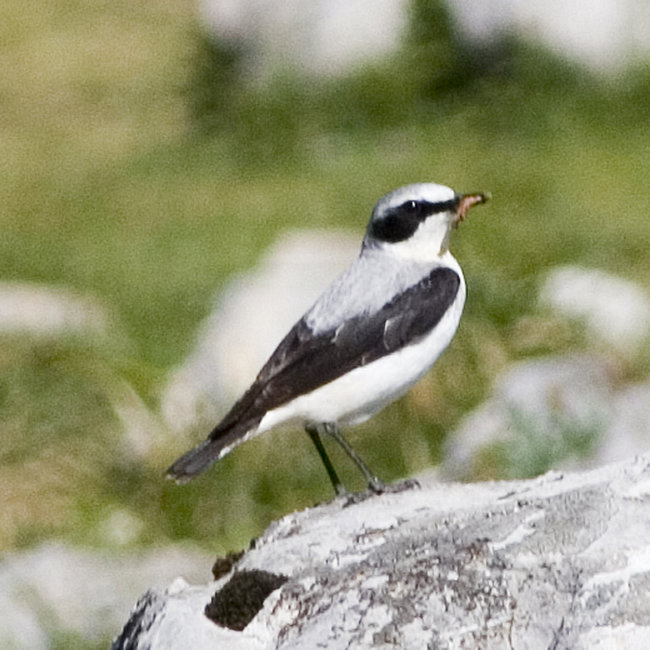 Wheatear (male)
