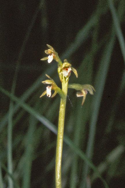 Coralroot Orchid - Corallohiza Trifida