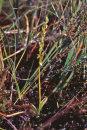 Bog Orchid - Hammarbya Paludosa