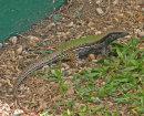 Chamelion Lizard