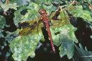 Aeshna grandis (female) - Brown Hawker