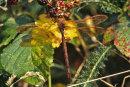 Aeshna grandis (male) - Brown Hawker
