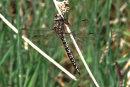 Aeshna caerulea (female) - Azure Hawker