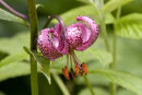 Martagon Lilly