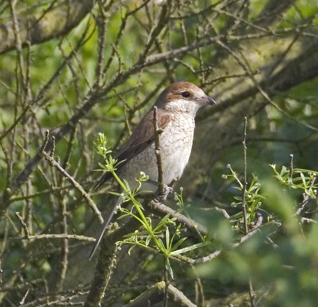 Red Backed Shrike (first year)