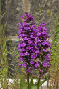 Southern Marsh Orchid - Dactylorhiza praeternissa