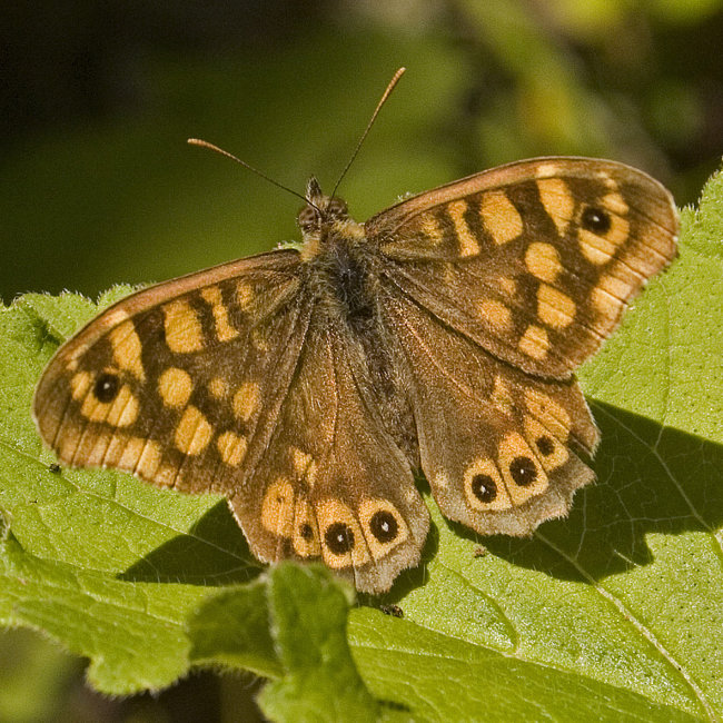 Speckled Wood (Europe)