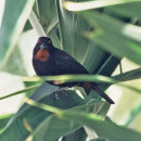 Caribbean Bullfinch