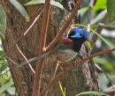 Varigated Fairy Wren