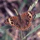 TropButterflies