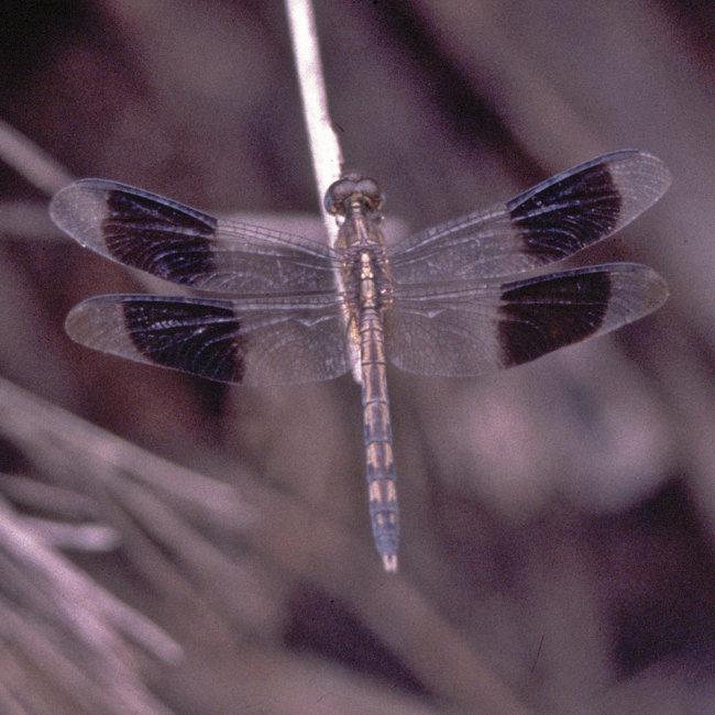 Erythrodiplax umbrata - Bandwinged Dragonlet