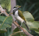 Blue-faced Honeyeater juvenile