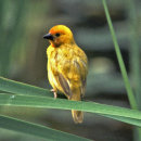 Taveta Weaver female