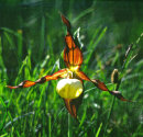 Ladys Slipper Orchid - Cypripedium Calceolus