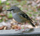 Grey-headed Robin