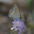 Blue-spotted Hairstreak