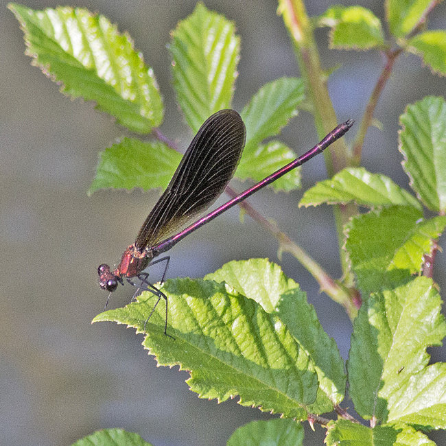 Calopteryx haemorrhoidalis (male) - Copper Demoiselle