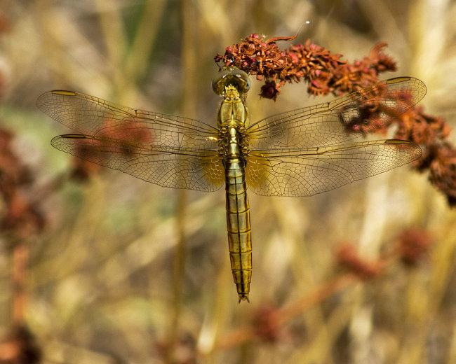 Crocothemis erythraea (female) - Scarlet Darter
