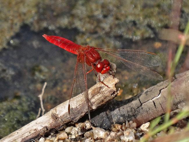 Crocothemis erythraea (male) - Scarlet Darter