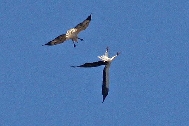 White-bellied Sea Eagle mock attack