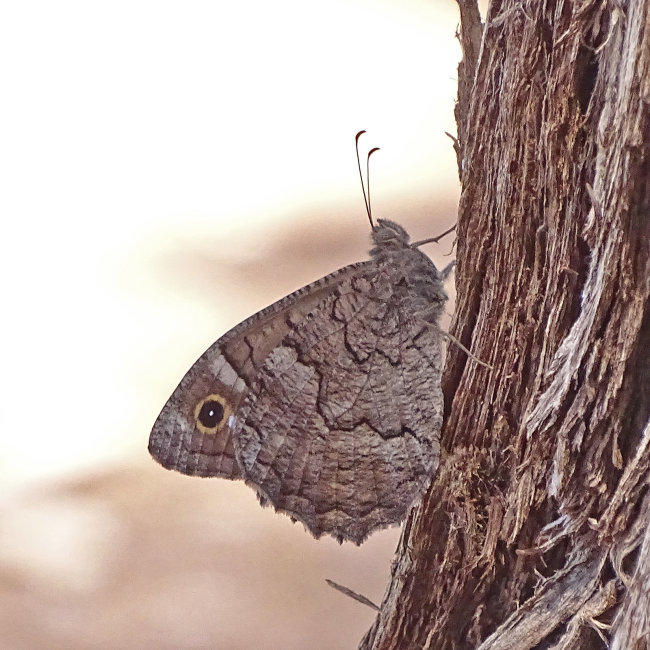 Freyer's Grayling