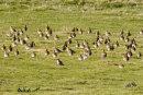 Golden Plover (winter)