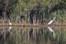 Great White & Little Egret