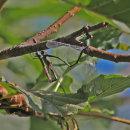 Lestes viridis (egg-laying) - Willow Emerald