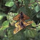 Marsh Fritillary (mating)