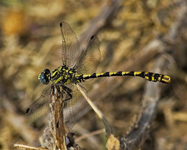 Onychogomphus uncatus (male)- Blue-eyed Hooktail
