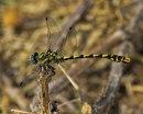 Onychogomphus uncatus - Blue-eyed Hooktail
