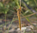 Orthetrum brunneum F - Southern Skimmer