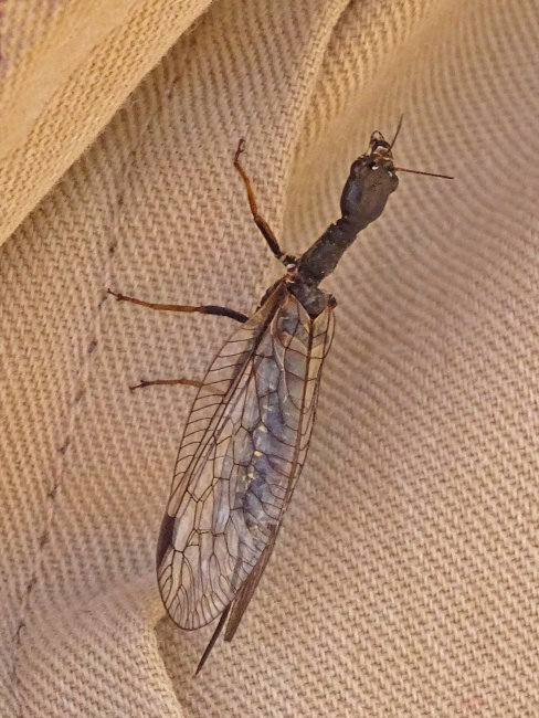 Snake Fly
