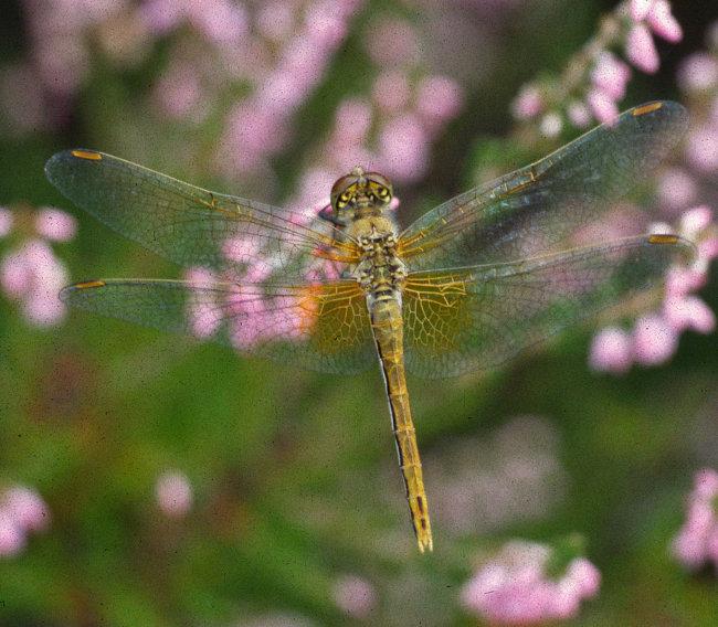 Sympetrum flaveolum - Yellow-winged Darter (female)