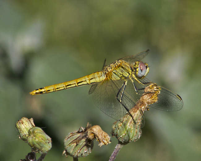 Sympetrum fonscolombii (female) - Red-veined Darter