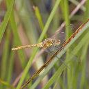 Sympetrum sanguineum (female) - Ruddy Darter