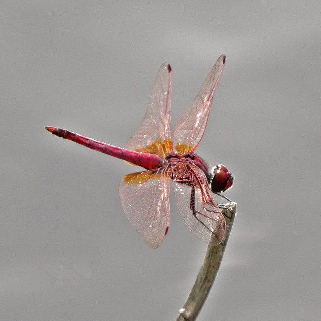 Trithemis annulata - Violet Dropwing