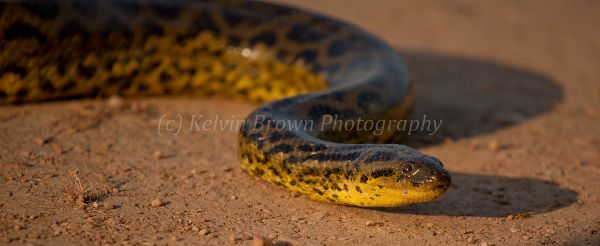 MG 1467 Yellow Anaconda