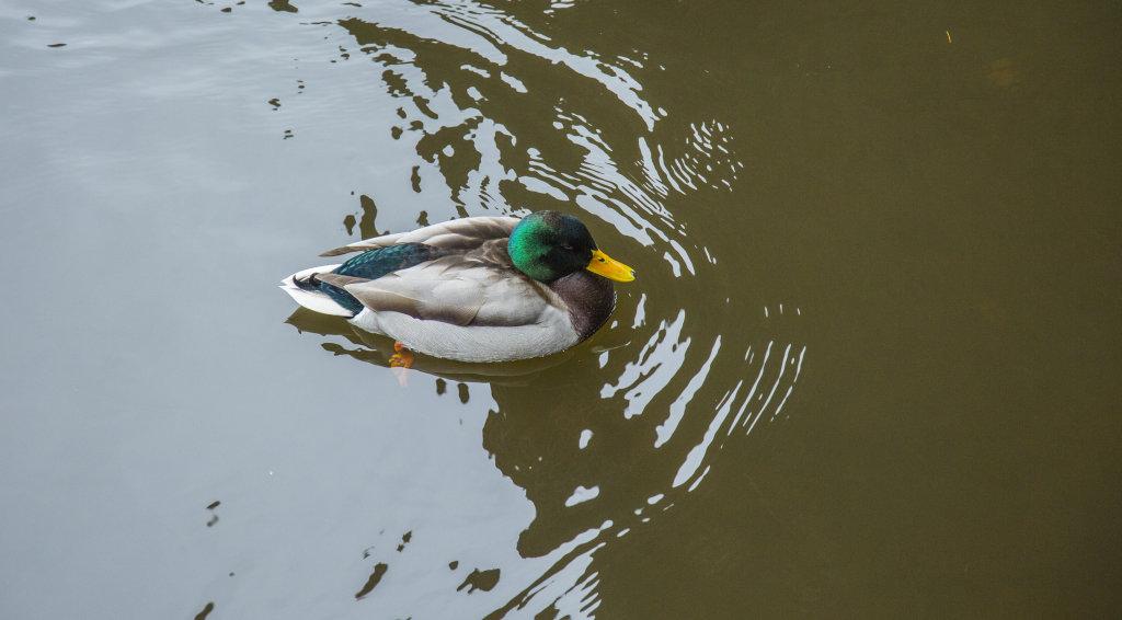 River Wear Duck
