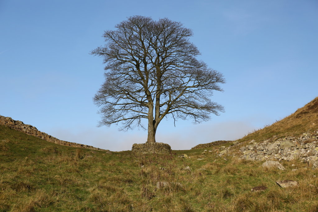 The Sycamore Tree on Hadrians Wall