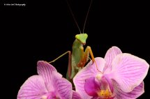 African Lined Mantis 1