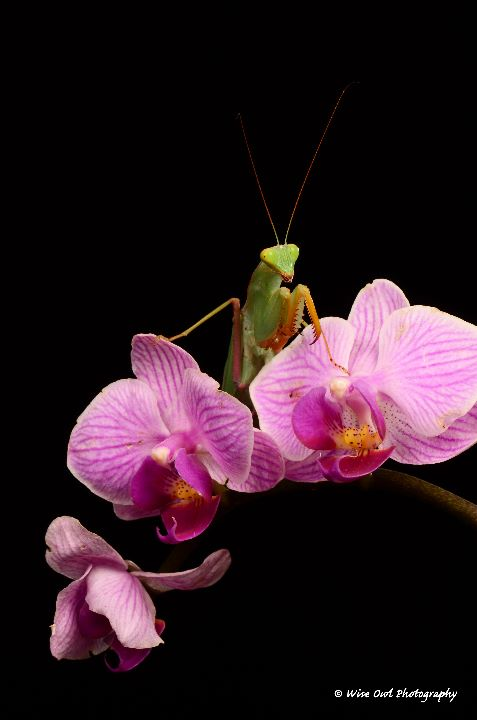 African Lined Mantis 2