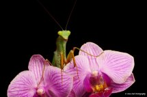 African Lined Mantis 3