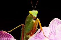 African Lined Mantis 4