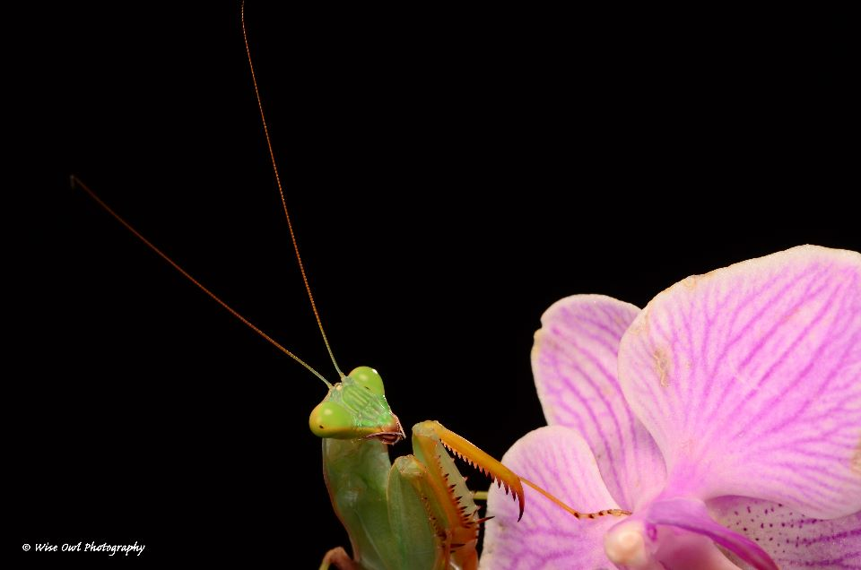 African Lined Mantis 5