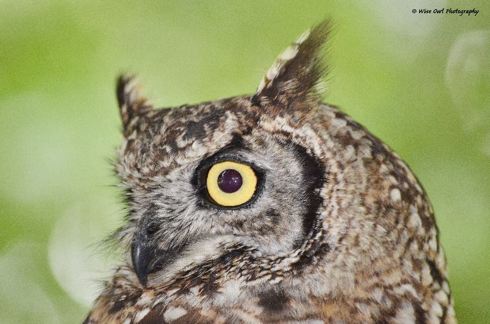 African Spotted Eagle Owl 1