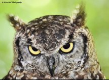 African Spotted Eagle Owl 3