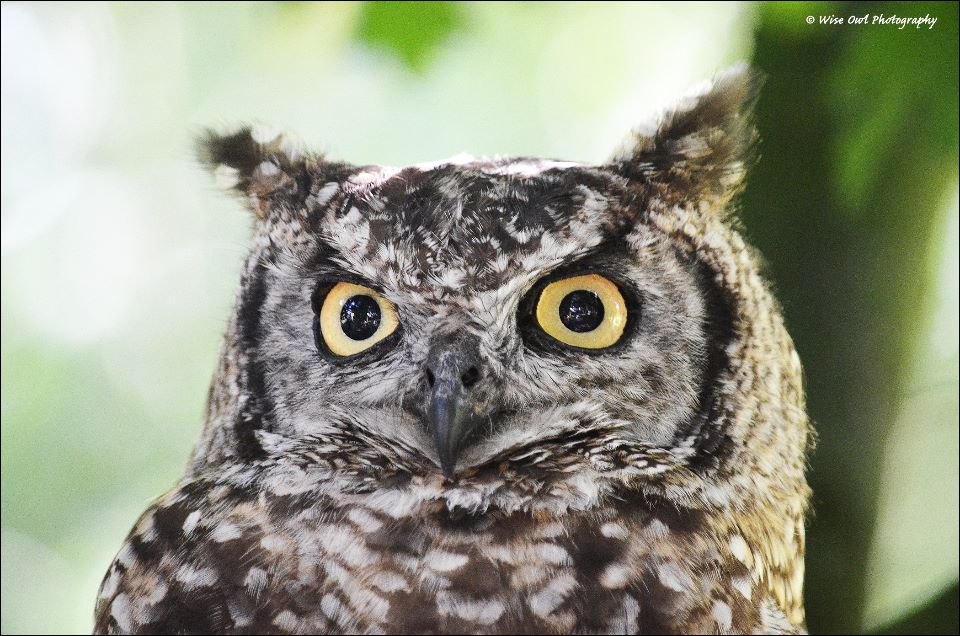 African Spotted Eagle Owl 4