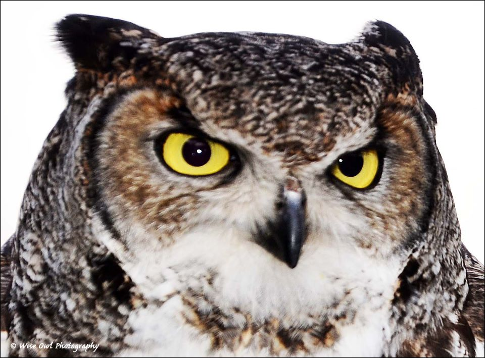 African Spotted Eagle Owl 6