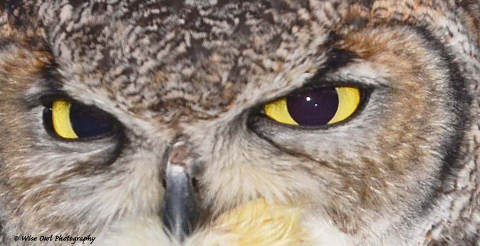 African Spotted Eagle Owl 7